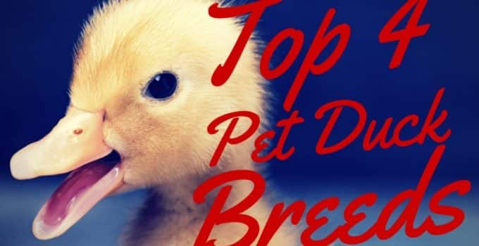 The Top 4 Pet Duck Breeds