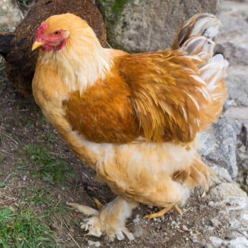 Buff Cochin Chickens