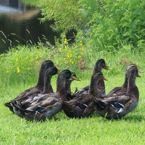 Rouen Ducks
